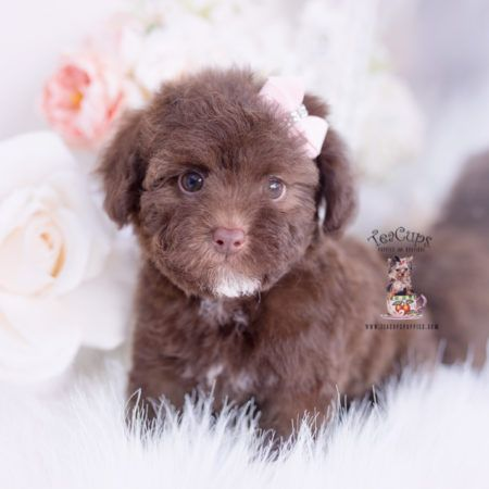 Tiny Toy Poodle Puppies Miami Fl Teacups Puppies Boutique