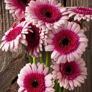 Pin On Daisies Gerbera English And Others
