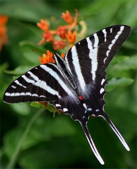 Zebra Swallowtail butterfly (Protographium marcellus), Southeastern US north to southern Canada.  Anywhere its sole larval food plant is found, the paw paw (Asimina sp.).