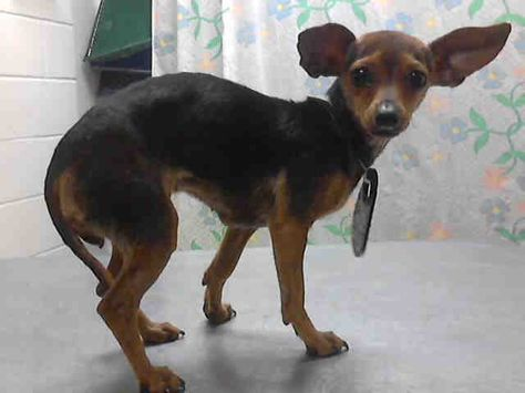 High Kill Shelter Texas Id A398729 Is A Miniature Pinscher Chi At The Shelter Since 2 6 14 I M Just 1 Cute Dogs And Puppies Dog Adoption Puppy List