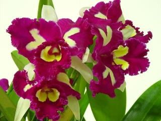Blc Chinese Beauty Orchid Queen Orquideas Flores Bonitas Flores Orquideas