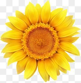 Sunflower Sunflower Clipart Yellow Flowers Png Transparent Clipart Image And Psd File For Free Download Sunflower Clipart Sunflower Png Flower Png Images