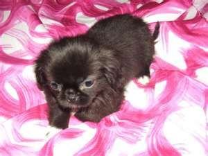 Pekingese X Poodle Puppies For Sale In London Ontario Classifieds