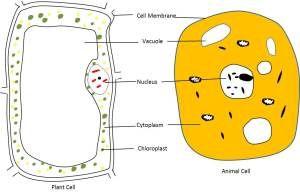Animal Cell Diagram In Ncert Book ~ DIAGRAM