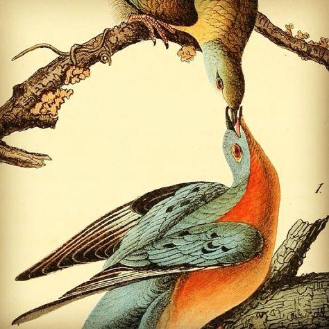 Illustration of Passenger Pigeons from Audubon's 'The Birds of America', 1842.