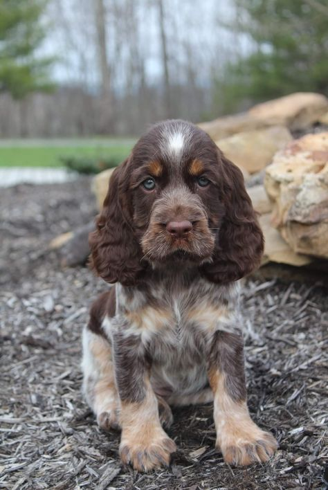 Baby Puppies, Cute Puppies, Dogs And Puppies, Corgi Puppies, Cute Dogs Breeds, Dog Breeds, Show Cocker Spaniel, English Springer Spaniel Puppies, Pug