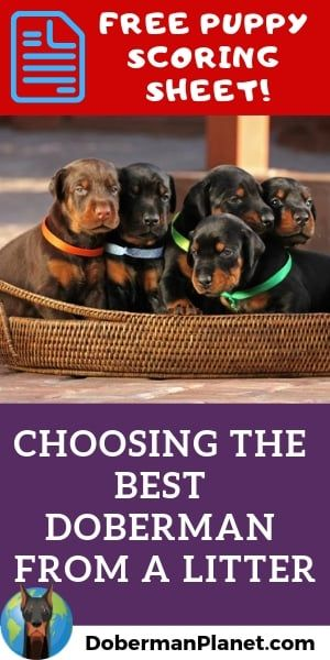 How To Choose The Best Doberman Puppy From A Litter Doberman