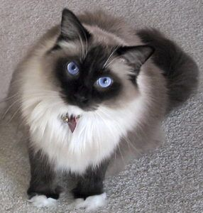 Ragdoll Happy Clients Pictures Gorgeous Cats Ragdoll Cat Pretty Cats