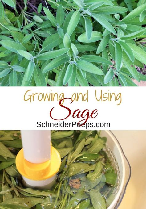 Ultimate Guide to Growing and Using Sage | SchneiderPeeps