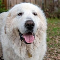 Available Pets At Great Pyrenees Rescue Society In Spring Texas