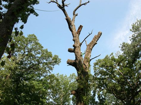 Removing Dead Trees At The Heard Museum Preservation Tree