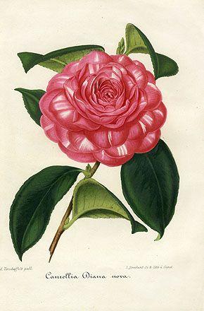 Verschaffelt Camellia Prints 1854 Watercolor In 2019 Botanical Art Flower Art Watercolor Flowers