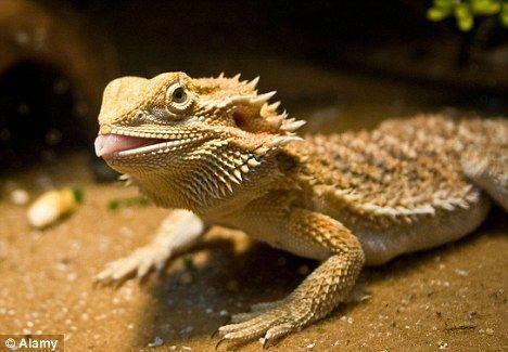 Bearded Dragon Hydration During Brumation Baby Bearded Dragon