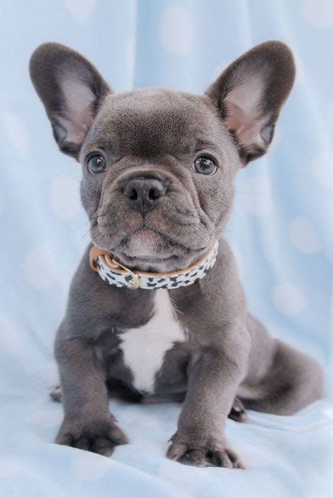 French Bulldog Puppies Are Some Of The Most Valuable Dogs Which