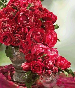 Maler Rose Henri Matisse 1 Pflanze Shop Ambiente Mediterran Pflanzen Mediterrane Pflanzen Rosen Pflanzen