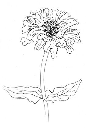 Zinnia Flower Line Drawings Zinnias Flower Sketches