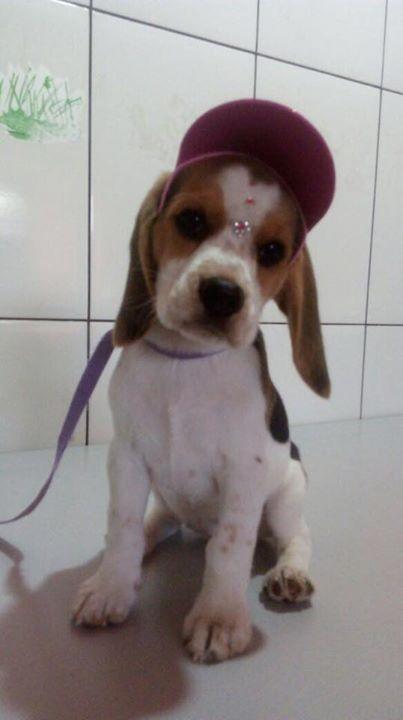Bom Dia Quem Tiver Interesse Nela E Uma Boneca Tem So 2 Meses E Ja Esta Toda Vacinada Ja Vai Com Os Pertences Pessoais Como Tap Beagle Puppy Beagle Beagle Dog