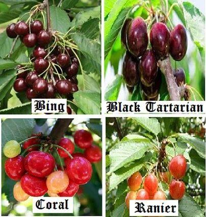 30 Cherry Varieties Common Cherry Trees For Back Yard Growers Luv2garden Com Types Of Cherries Cherry Tree Varieties Black Cherry Tree