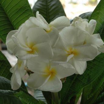 Kanjanaporn White Plumeria Cactus Plants For Sale Plumeria Plant Sale