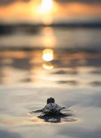 🔥 A baby loggerhead sea turtle goes out to sea for the first time 🔥 : NatureIsFuckingLit Baby Animals Super Cute, Cute Little Animals, Cute Funny Animals, Sea Turtle Wallpaper, Animal Wallpaper, Baby Animals Pictures, Cute Animal Photos, Sea Turtle Pictures, Sea Turtle Images