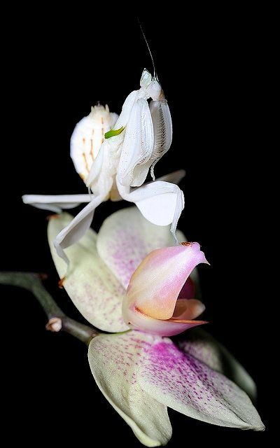 Nikon 70 180 Macro Shots Orchid Mantis Beautiful Bugs Orchids