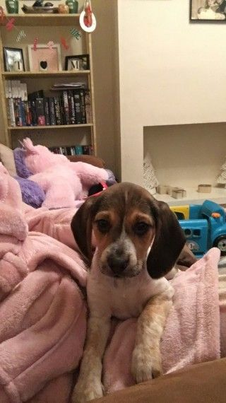 Beagle Puppy For Sale 13 Weeks Old Beagle Puppy Puppies For