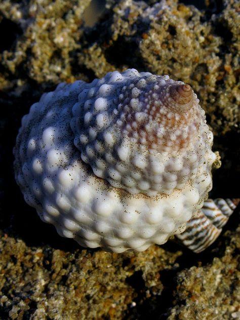 tectarius muricatus, blowhole rocks, playa pastillo, municipio de isabela, puerto rico 1   Flickr - Photo Sharing!