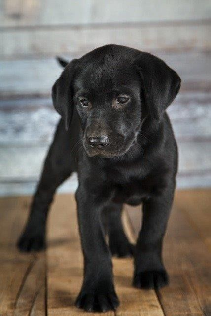 Black Labrador Puppy In 2020 Black Labrador Puppy Puppy Dog Images Lab Puppy