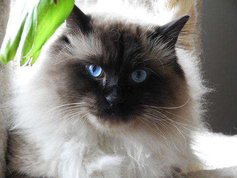Sebastian Balinese Cat Siamese Long Hair Look At Those