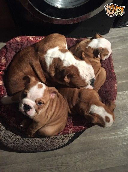 Kc Reg Female English Bulldog Puppy Last One Bishop Auckland County Durham Pets4homes Bulldog Puppies English Bulldog Bull Dog Stuff