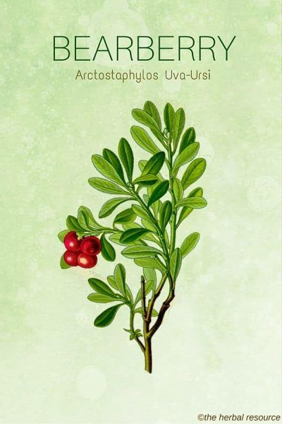 Bearberry Side Effects Uses And Benefits In 2020 Herbalism Herbs Herbal Plants