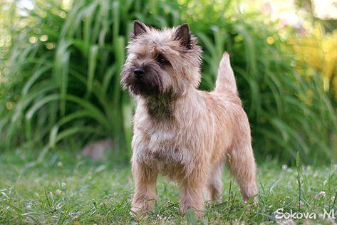 Kern Terer Cairn Terrier Cairn Terrier Wikipedia The Free