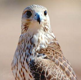 انواع الصقور واسماءها Bird Animals Owl