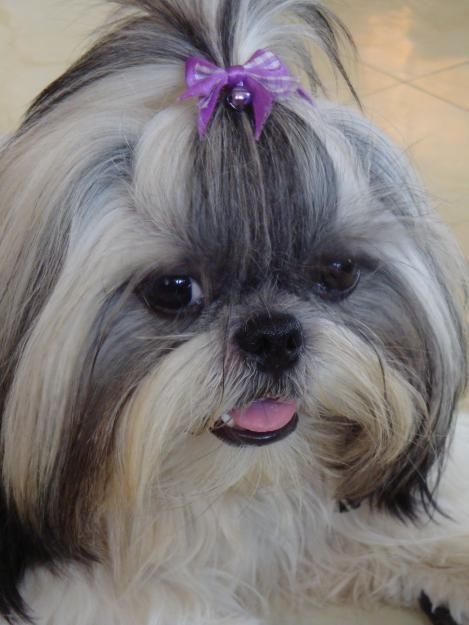 68429822 1 Pictures Of Pure Breed Shih Tzu For Stud Service Jpg