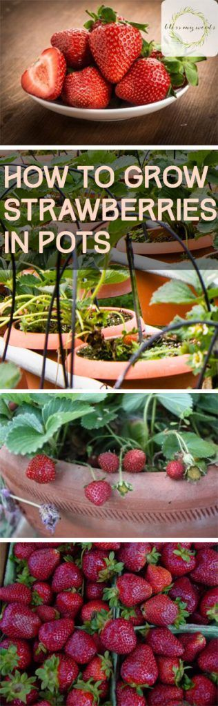 How to Grow Strawberries in Pots ~ Bless My Weeds