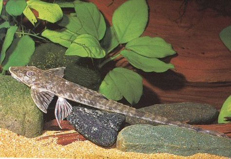 L062 Loricaria Cataphracta Pleco Catfish Common Names Fish