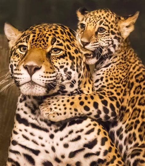Jaguar and Cub . Dm credit Jaguar and Cub . Jungle Animals, Cute Baby Animals, Animals And Pets, Funny Animals, Big Cats, Cats And Kittens, Cute Cats, Beautiful Cats, Animals Beautiful