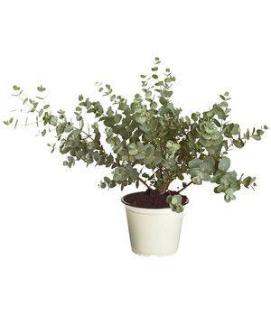 Dehner Ihr Online Shop Fur Garten Pflanzen Balkon Tiere Pflanzen Kubelpflanzen Gewachs