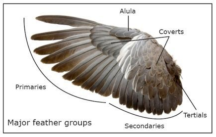 Feather Molt An In Depth Look At Molting In 2021 Contour Feathers Feather Wing Structure