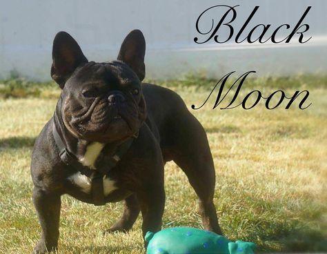 Black Tri Triple Carrier Stud French Bulldog French