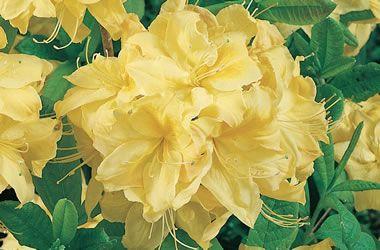32a Mollis Azaleas Mernda Yellow Tesselaar Azaleas Mollis Flowers