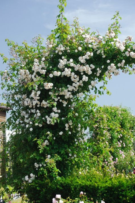 Félicité-Perpétue - Rambling Roses - Type