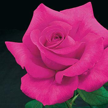 All My Loving Fleur Rose Fleurs Lumineuses Et Fleur Jardin