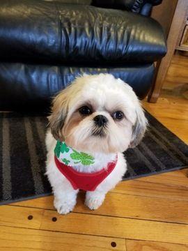Shih Tzu Puppy For Sale In Salisbury Nc Adn 66285 On Puppyfinder