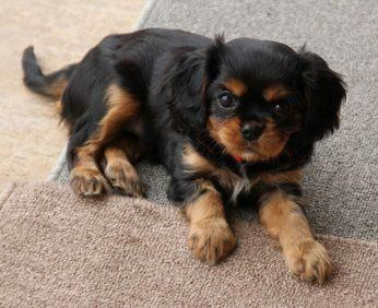 Cavalier King Charles Spaniel Graceful And Affectionate King Charles Cavalier Spaniel Puppy Cavalier King Charles Cavalier King Charles Dog