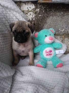 Litter Of 3 Pug Puppies For Sale In Belleville Pa Adn 66933 On