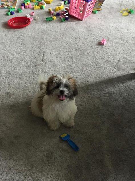 Lenny Shichon Puppy For Sale In Killbuck Oh Buckeye