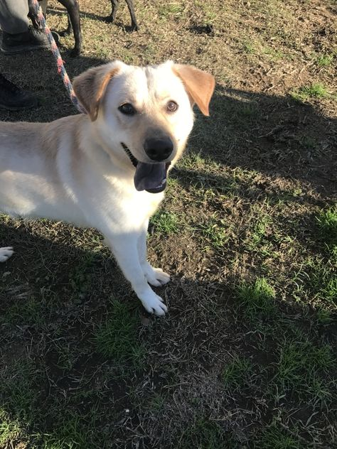 Labrador Retriever Dog For Adoption In Jackson Ms Adn 650016 On