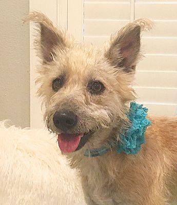 Houston Tx Cairn Terrier Meet Jolie A Pet For Adoption