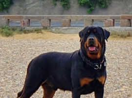 Rottweiler Dogs And Puppies For Sale And Rehome Uk Find Rottie Friends Rescue New Client Website By Qua In 2020 Rottweiler Puppies Rottweiler Puppies For Sale Puppies